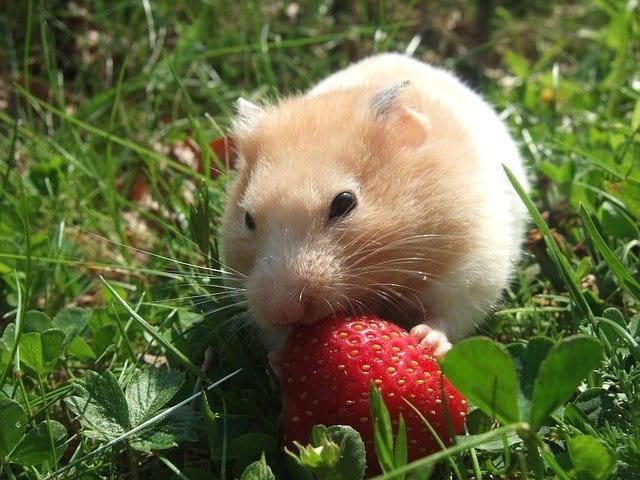 Всемирный день хомяка (World Hamster Day)