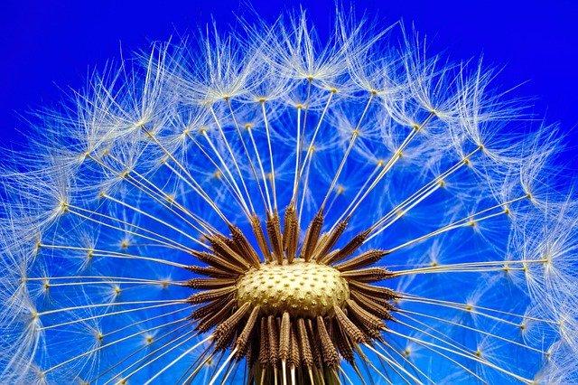 Всемирный день одуванчика (World Dandelion Day)