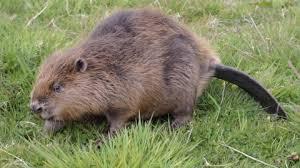 Международный день бобра  (International Beaver Day)