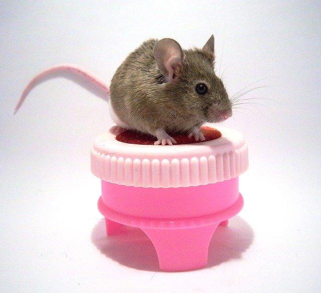 День декоративних мишей і щурів (Fancy Rat & Mouse Day) - США