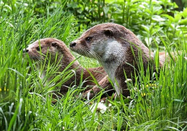 Всемирный день выдры (World Otter Day)