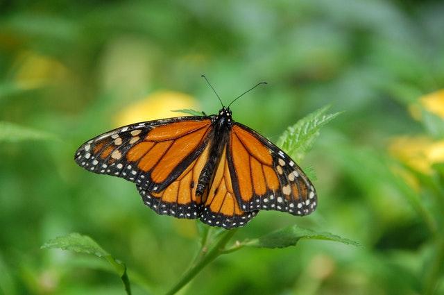 День бабочки-монарх