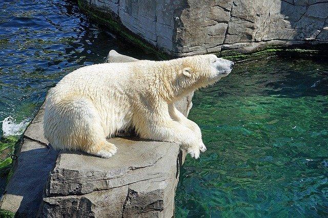 Міжнародний день білого полярного ведмедя