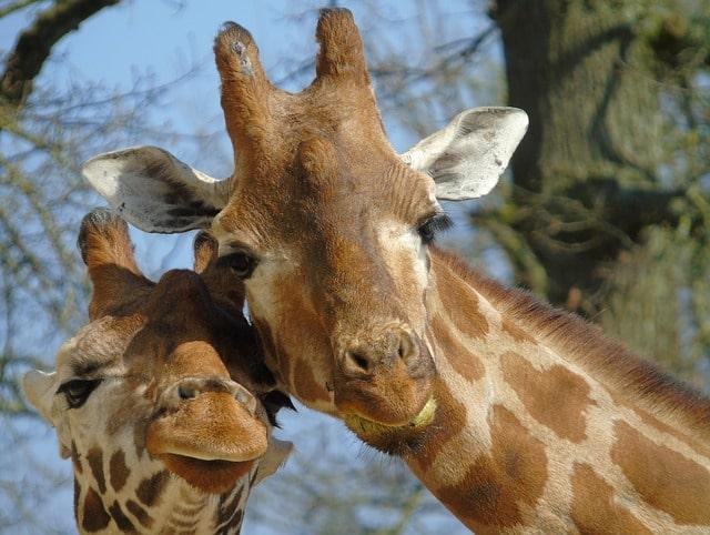 Всемирный день жирафов