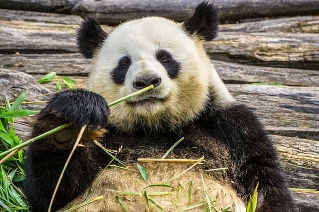 День панды